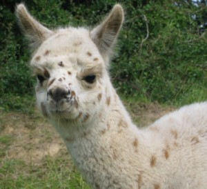 Harlequin Grey Alpacaa