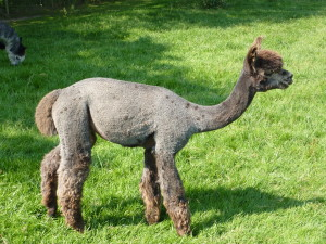 Harlequin Grey Alpacas