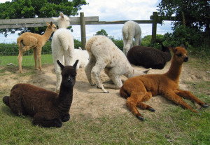 How to keep alpacas healthy