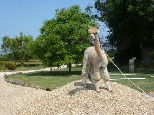 Alpaca Courses and Workshops