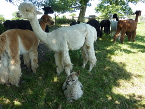 Requirements for keeping alpacas