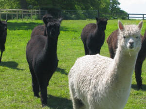 When to buy alpacas