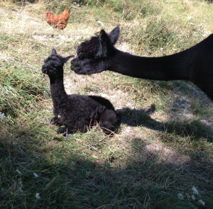 Alpaca news from France