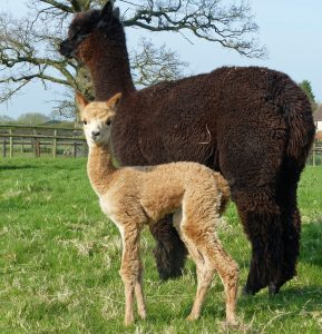 Jasmine's cria emergency